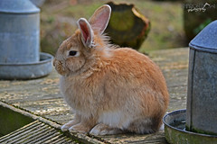 Cute Bunny (Sharon Emma Photography) Tags: uk england rabbit bunny nature sussex nikon westsussex britain southeast naturalworld lapin tilgate crawley southernengland lagomorpha leporidae tilgatepark 2013 d3100 sharondowphotography sharondow