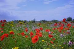 Spring-flowering (fiammetta53) Tags: spring day sardinia cloudy poppy wildflowers oristano fiammetta blueribbonwinner torregrande coth5 blinkagain