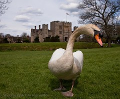 Up close and personal (Georgio's Photography) Tags: friends castle kent swan picnic close hever