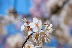 Back Lit Flowers of Spring (HKRPhotography) Tags: life nyc light usa sun sunlight nature beauty america newjersey spring dof seasons blossom action bokeh availablelight belleville nj beautifullight newark naturalbeauty springflowers sal almondblossom branchbrook branchbrookpark greaternewyork cherryblossomfestival beautifulnature 5petals 50f14 naturallightphotography beautyofnature extremebokeh lightthrough sonyalpha beautifulbokeh bokehlicious sal50f14 lifesprings sony50mmf14 usingavailablelight newbeggining astorytotell beautifulbackground sunlitflowers awesomeflowers backlitflowers bokehaddiction natrualbeauty bokehlcious 50mmphotography walnutblossom spring2013 springinglife beautifublossom cheeryblossomfestival2013 sala57 beautifulnatue springnearnewyork nearnewyorkarea litflowers 5petalsflowers