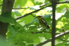 Cape May Warbler - Setophaga tigrina - Hamilton County, Ohio, USA - May 1, 2013 (mango verde) Tags: ohio usa bird yard capemay migration warbler migrant hamiltoncounty tigrina parulidae setophaga newworldwarblers capemaywarblersetophagatigrina