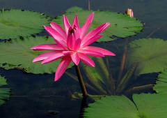 Water lily (PeterCH51) Tags: singapore waterlily pink flower peterch51 plant waterplant nature aquaticplant explored mywinners flickraward wonderfulworldofflowers inexplore explore