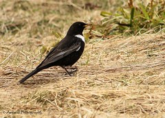 Ring Ouzel (Astland Photography) Tags: bird nature birds wildlife ringouzel