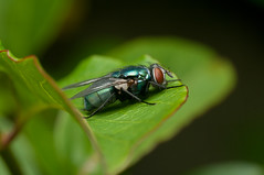 Greenbottle (Lucilia sp.) (Will_wildlife) Tags: fly greenbottle lucilia