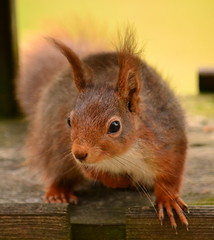 All Ears (Feversham Lens) Tags: squirrels wildlife cumbria eden redsquirrels edenvalley westmorland kirkbystephen waitby galebars