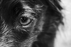 Bandit Eye B & W (Rachael Marie M) Tags: dog happy bordercollie bandit dogsdogsdogs