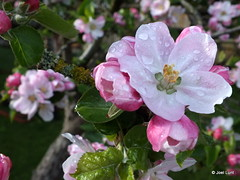 apple blossom (Jel) Tags: pink flowers trees sky sunlight apple water leaves fruit garden drops spring blossom branches nectar lichen pollen