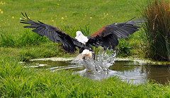Fishing eagle (Wildlife Online) Tags: fishing eagle andover raptor birdofprey haliaeetusvocifer fishingeagle hawkconservancy africanfishingeagle marcbaldwin wildlifeonline