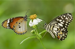 "(""The Butterfly Lovers"") (Anna Kwa) Tags: macro art nature singapore papiliodemoleus plaintiger danauschrysippus butterflylodge citrusswallowtail chequeredswallowtail lemonbutterfly limeswallowtail dingyswallowtail commonlimebutterfly smallcitrusbutterfly mariposadelmuerte"