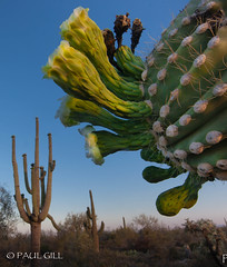 Cochran Saguaro Bloom -112.jpg (paulgillphoto) Tags: