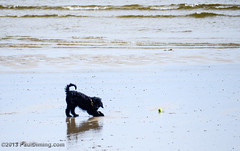 Dog Playing On Porthluney Beach - Cornwall, England, UK (Paul Diming) Tags: uk greatbritain england dog spring cornwall unitedkingdom wildlife gos cornwallengland caerhays boswinger porthluneybeach d7000 pauldiming caerhaysengland boswingerengland