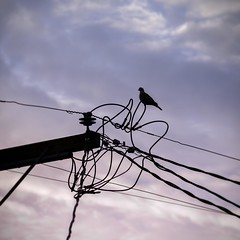 Mourning Dove on Wires at Dawn (M. Kamran Meyer) Tags: sanfrancisco california morning sky bird nature lines animals silhouette clouds dawn mess quiet sad power purple mourning loop dove wildlife telephone flight beak feathers peaceful knot pole cables wires zen perch perched electrical tension contemplative tangle