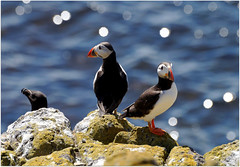 Puffins and Co (eric robb niven) Tags: scotland dundee wildlife puffins anstruther seabirds firthofforth isleofmay wildbird ericrobbniven pentaxk50