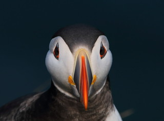 Puffin form Bullers of Buchan