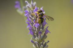 _MG_1871 (Arthur Pontes) Tags: blur flower macro nature insect natureza small flor bee abelha inseto micro pequeno lavanda