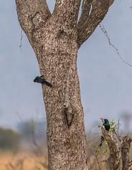 Green Wood-Hoopoe_3959-20151015 (C&P_Pics) Tags: cac greenwoodhoopoe kruger satara skukuzacamp southafrica2015 woodhoopoes krugerpark mpumalanga southafrica za