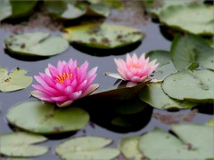 Water Lilies (thang nguyen photography) Tags: pastel serene plant blossom flower canon fd 85mmlf12 panasonic lumix gh3 u43 vintage lens analog digital manualfocus waterlilies bond leaves