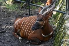 Bergbongo, Planckendael (B) (wimjee) Tags: planckendael zoo dierentuin animal belgi mechelen bergbongo bongo