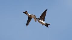 House martin feeding fledgling in flight (Steve Balcombe) Tags: bird hirundine house martin taunton somerset uk inflight feeding