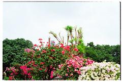 Over the Tropics (Melanie Jayne Art) Tags: bougainvillea tropical bangkok thailand urban garden lumpini park sky flowers humidity green pink red white
