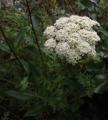 Seseli libanotis (Moon Carrot) flowers & leaves 1, Cherry Hinton Chalk Pits, Cambs, 21.8.16 (respect_all_plants) Tags: mooncarrot seselilibanotis cherryhinton chalkpits cambridge cambs cambridgeshire wildflowers