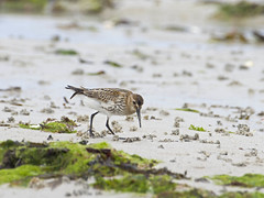 Bcasseau variable (JFB31) Tags: bcasseauvariable calidrisalpina dunlin charadriiformes scolopacids