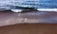 A seagull on Manasquan Beach dips its toes into the Atlantic Ocean. (apardavila) Tags: atlanticocean beach jerseyshore manasquan manasquanbeach seagull