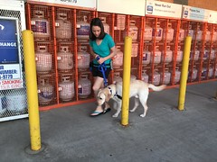 Calvin doing some training at Home Depot (hero dogs) Tags: dog labrador cute therapydog servicedog