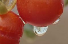 Les larmes de la petite tomate blesse... (Pi-F) Tags: rouge tomate fruit eau goutte larme reflet texture dof macro