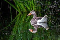 Mirrored goose (nemi1968) Tags: canon canon5dmarkiii ef100400mmf4556lisiiusm goose markiii beak bird closeup feathers geese grass lake reflection water specanimal