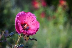 Rose Mallow (Geoff Livingston) Tags: trioplan100 rose mallow bokeh flower