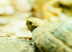 Turtle (VirtualWolf) Tags: animal australia bokeh canonef135mmf2lusm canoneos7d equipment mosman newsouthwales places reptile sydney tarongazoo techniques turtle wildlife