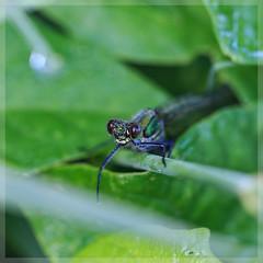Prachtlibelle_4683 (uwe_cani) Tags: gebnderteprachtlibelle prachtlibelle libelle insekt bach gras makro natur outdoor fauna deutschland nrw rur