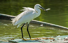 DSC2536  Little Egret.. (jefflack Wildlife&Nature) Tags: littleegret egret egrets estuaries birds avian animals wildlife wildbirds waterbirds wetlands waders waterways lakes riverbirds coastalbirds countryside nature