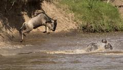 Wildebeest leaps into Mara River to join the Crossing (John Hallam Images) Tags: wildebeest leaps mara marariver join crossing masaimara kenya safari