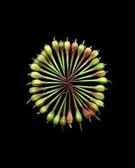 57561.01 Geranium robertianum (horticultural art) Tags: horticulturalart seedpods mandala circle