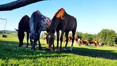 three horses (Lilith-Luana) Tags: pferd pferde horse horses ungarn gras weide herde pferdeherde gruppe pferdegruppe