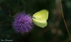 Just caught you on time (Jordi Photography) Tags: butterfly flower speed flyaway ontime thirsty
