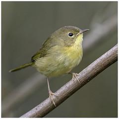 common yellowthroat (Christian Hunold) Tags: commonyellowthroat woodwarbler warbler songbird bird weidengelbkehlchen bokeh johnheinznwr philadelphia christianhunold