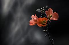 _MG_9974F1 (hurash86) Tags: chaenomeles japonica