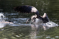 untitled (robwiddowson) Tags: goose cananda water river animal animals bird birds nature natural wildlife robertwiddowson photo photograph photography image picture