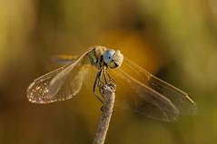 Hey !!! (jrosvic) Tags: entomology odonata libelula anisoptero dragonfly freehand cartagena spain sympetrumfonscolombii lamanga nikond90 nikon105f28miccro bokeh entomologia