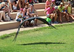 Andean Condor (Niall McAuley) Tags: lanzarote august 2016 condor andean rancho texas