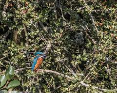 9Q6A6913 (2) (Alinbidford) Tags: alinbidford alancurtis brandonmarsh kingfisher greyheron heron kestrel
