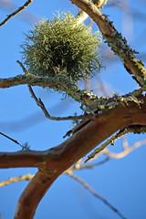 Lichen_3057 (gtveloce) Tags: lichen tree ball centralcoast nsw australia