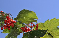Late Summer Berries (CCphotoworks) Tags: ccphotoworks niceweather weather bluesky skybackground outdoors nature wild plants latesummer wildberries redberries