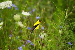 lake katherine. july 2016 (timp37) Tags: palos heights summer illinois july 2016 bird yellow lake katherine