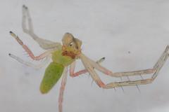 Hedana sp. (zosterops) Tags: australia tasmania hobart domain extinctionmattersbioblitzhobart september32016 canoneos6d canonmacrolensmpe65 macro arachnida spider thomisidae hedana