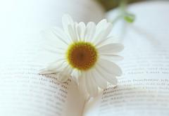 have a break...kleine Pause (Gi.Vanella) Tags: gnseblmchen buch makro daisie book macro highkey