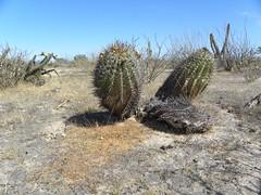baja-0675 (Robby's Sukkulentenseite) Tags: bajasur cacti cactus ferocactus fnrrb1085 ka1147s kakteen kaktus mexiko peninsulae rb1085 reise standort townsendianus
